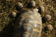 Maurische Landschildkröten Nachzucht 2018