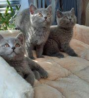 BKH Kitten Katzenbaby