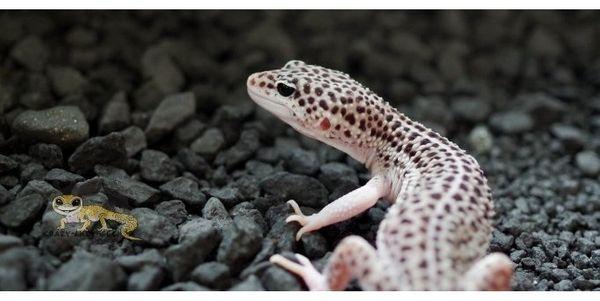 Leopardgecko Männchen Mack Super Snow