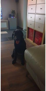 Schwarze Labrador Hundin