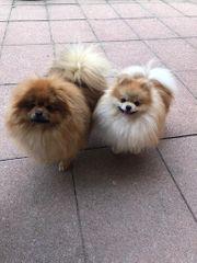 Deutsche Pomeranian Spitz Hunde