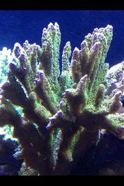 Montipora Confusa Meerwasser Korallen Fische