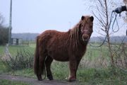 Shetland pony kinderpony shetty