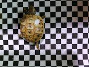 Dalmatienische Landschildkröten hercigovinensis kleine nz