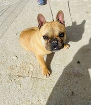Boggy Bulldogge Französische