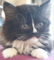 Maine Coon - Perser Kitten