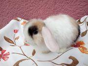 NHD und Minilop Kaninchen Babys