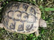 Schildkröte Griechische Landschildkröte Testudo Hermanni