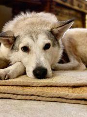 Tierschutz Akela sucht Zuhause