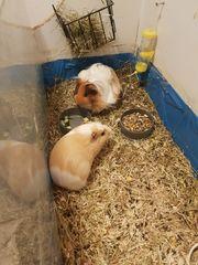 2 süße Meerschweinchen