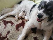 Pyrenäenberghunde Welpen