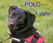Polo ein toller juger Labradormix