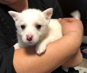 Biela - kleines Eisbärbaby :