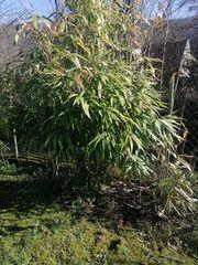 Bambus Steckling