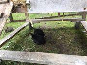 Junge Kaninchen Osterhäschen