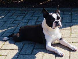 Hunde - Deckrüde Boston Terrier