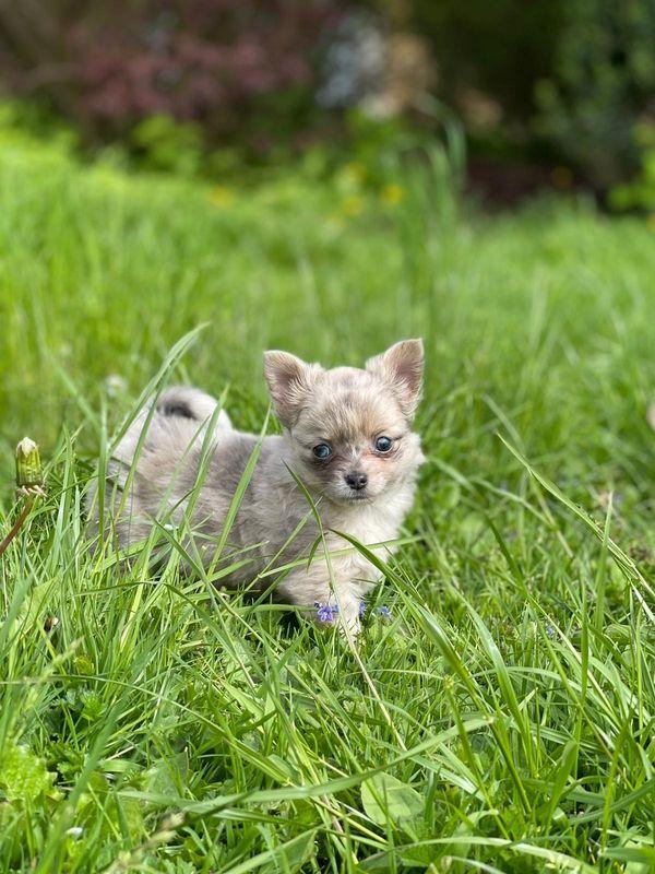 Chihuahua Langhaar Merle Welpen ab