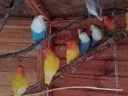 Papagein