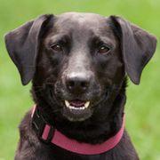 Kenia 4 Jahre 3 Monate - Labrador-Mix