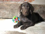 Abgabebereit - Traumhafter dark chocolate Labradorwelpe