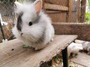 Kaninchen Löwenköpfchen Zwergkaninchen Kaninchenbabys von