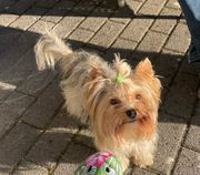 Biewer Yorkshire Terrier Deckrüde
