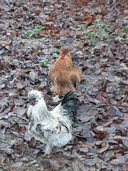 Seidenhühner zu verschenken
