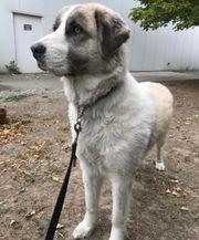Pyrenäenberghund 3 Jahre alt