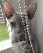 Sphynx Kitten BRUSH