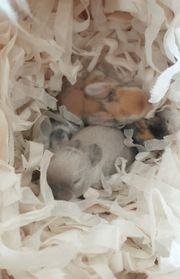 Minilop Babys