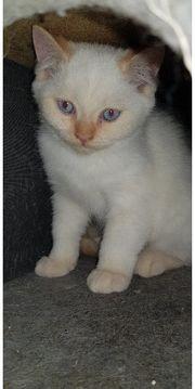 BLH MIX Kitten