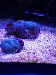 Grüne Scheibenanemone auf einer Muschel