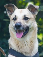 Sammy 4 Jahre Schäferhund-Mischling Hund