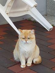 BKH Goldene Katze