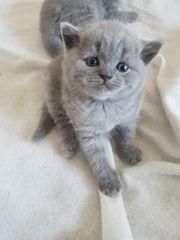 7 Wunderschöne Reinrassige BKH Kitten