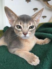 Abessinier Kitten aus