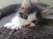 Main Coon Ragdoll Kitten