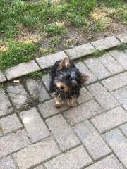Putzige stubenreine Yorkshire Terrier Hündin