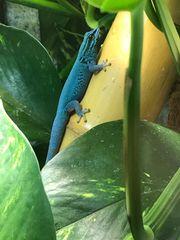 3 Himmelblaue Taggeckos Lygodactylus williamsi