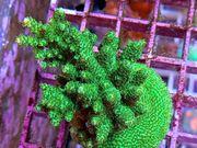 Meerwasser Acropora verschiedene Korallen