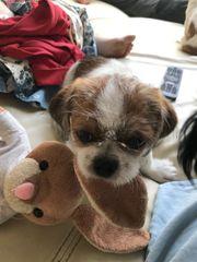 Hundewelpen Shih Tzu Mischling