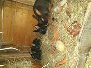 5 junge reinrassige lohkaninchen