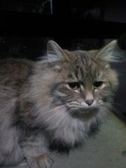 Sibirische Katzen und