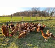 Hühner zu verkaufen