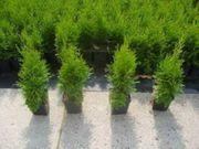 50 Stück Thuja Smaragd Lebensbaum