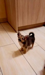Schöne Chihuahua-Welpen 1xRüden 2xWeibchen Langhaar