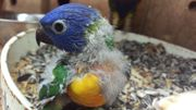 Gebirgslori papagei Handaufzucht