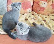 Scottish Fold Kitten BKH m