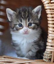 Norwegische Waldkatze Jungtiere