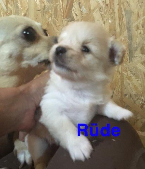 Chihuahua Pomeranian Spitz Mix Welpen In Nörvenich Hunde Kaufen